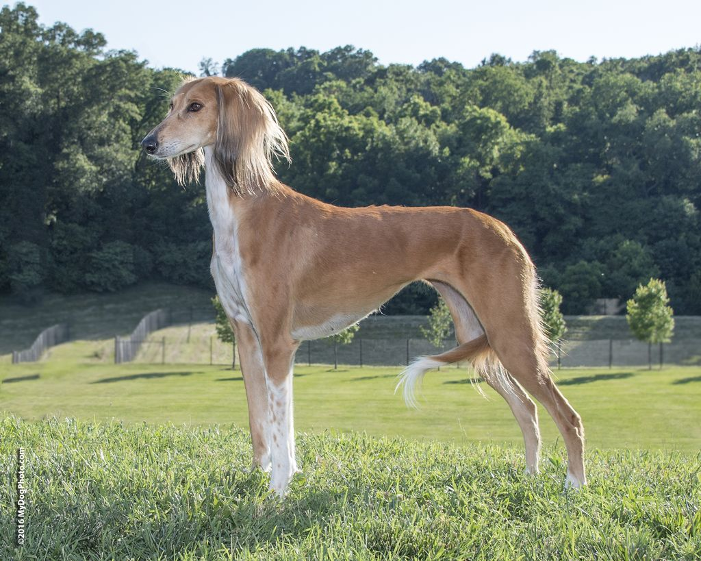 Saluki - The Breed Archive